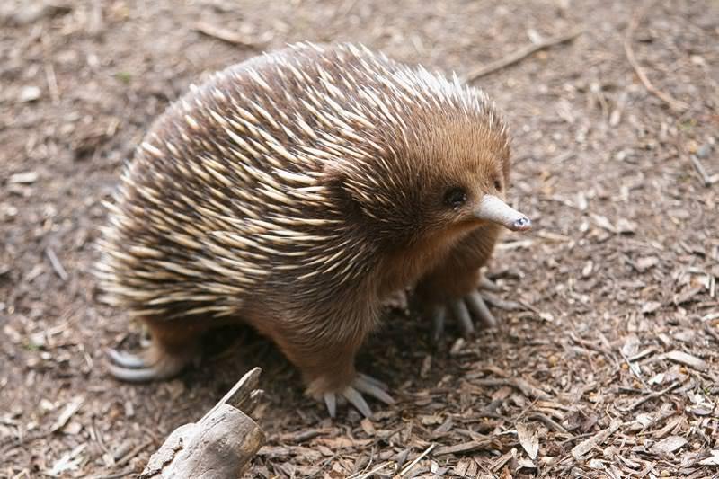 echidna, ouriço australiano só encontrado na austrália