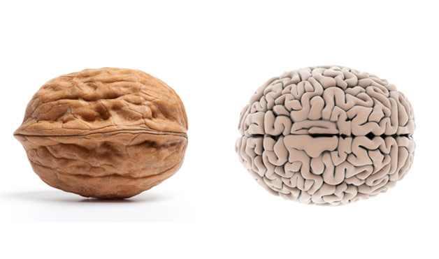 noz tem o formato do cérebro e faz bem para o cérebro