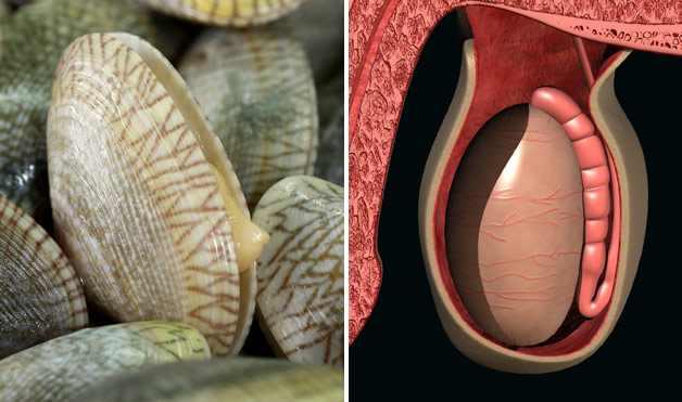 ostra parece testículo e é ótimo para os órgãos sexuais masculinos