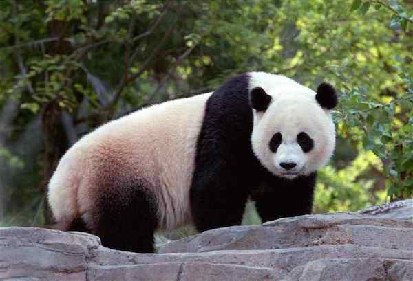 15 Interessantes Fatos Sobre os Pandas
