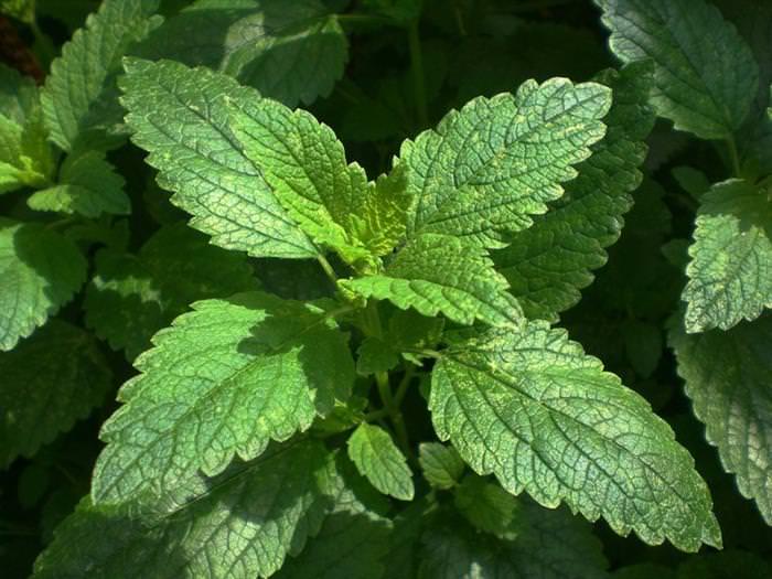 melissa, ervas medicinais