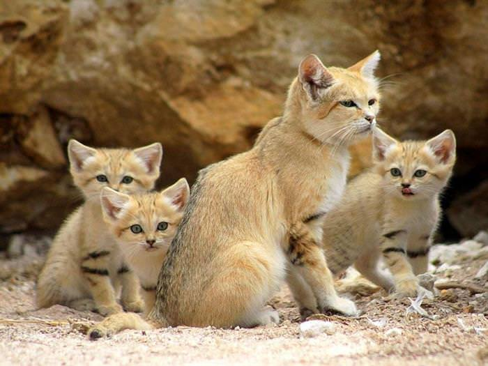 gatos do deserto