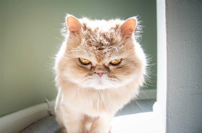 gatos têm emoções