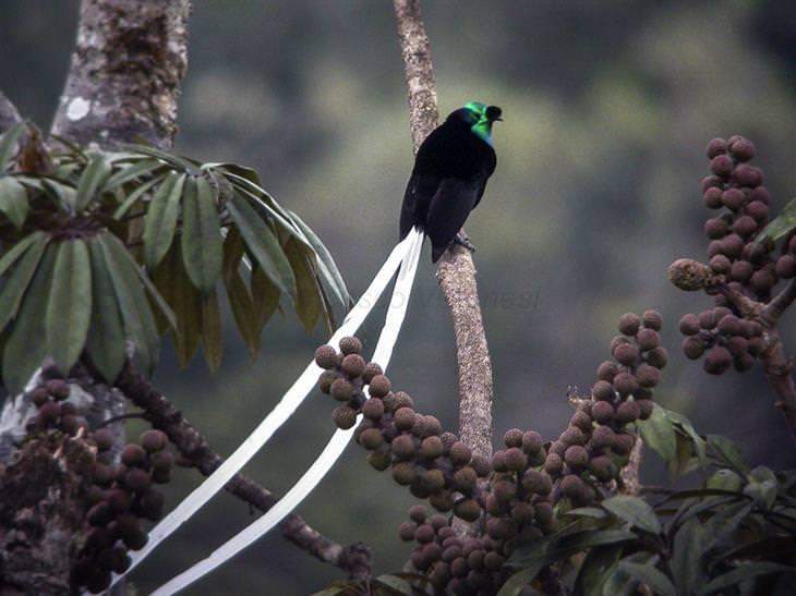 espécies de ave-do-paraíso