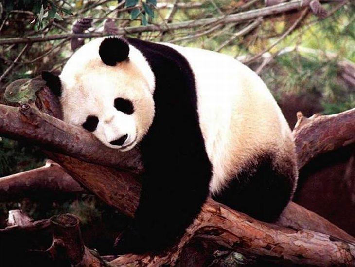 A vida dos pandas