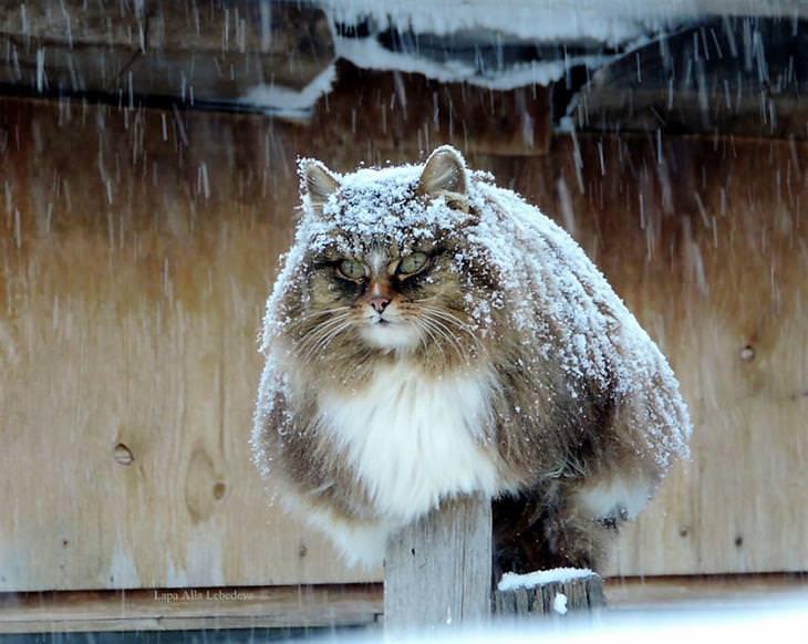 fazenda na rússia com gatos siberianos alla lebedeva