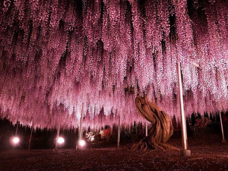 A mais famosa glicínia no Japão