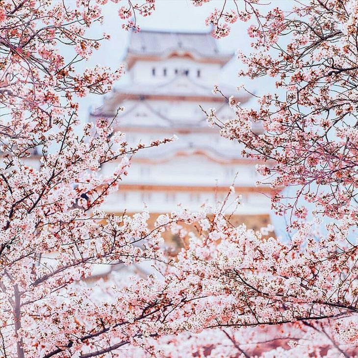 Fotos belíssimas durante a estação de flores de cerejeira do Japão
