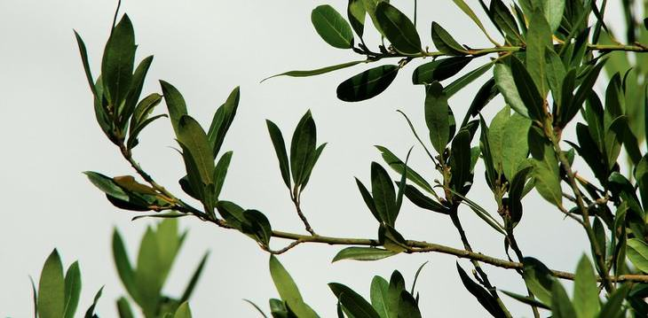8 benefícios de saúde vitais das folhas de louro