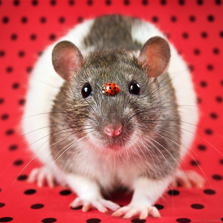 foto de ratinhos fofos da fotógrafa Diane Ozdamar