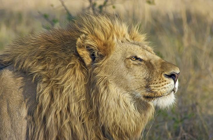 parábola do leão