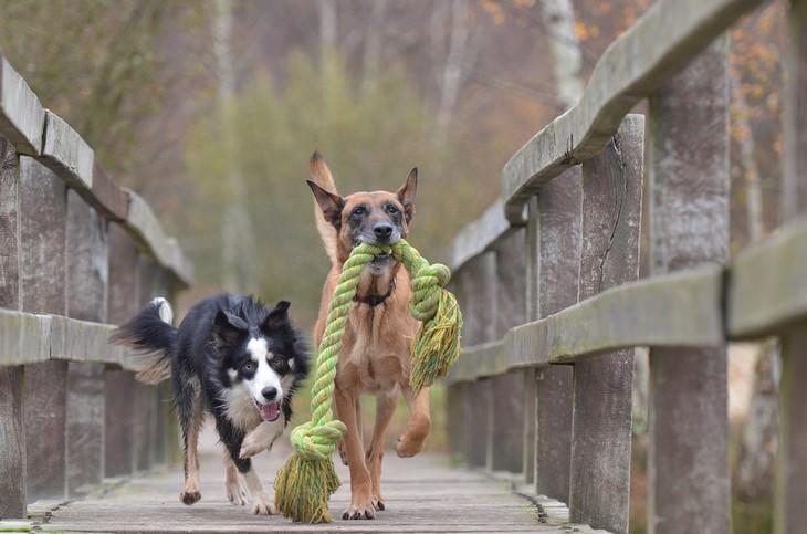 cães espertos