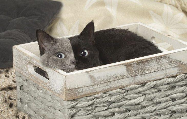 gato de duas caras