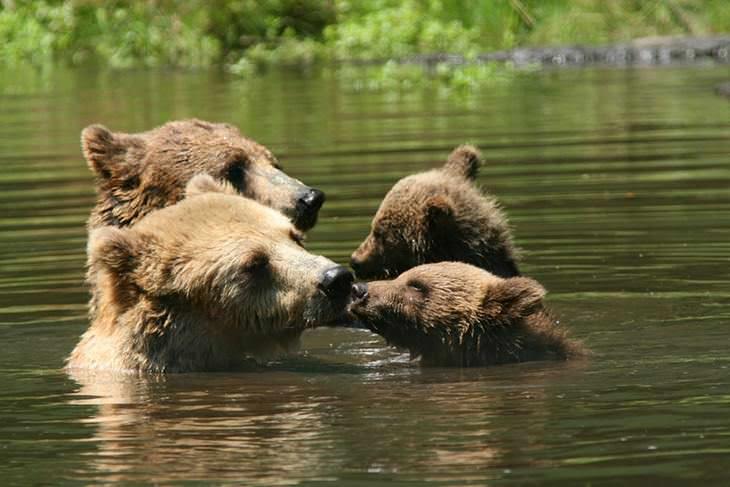 mamães urso e filhotes
