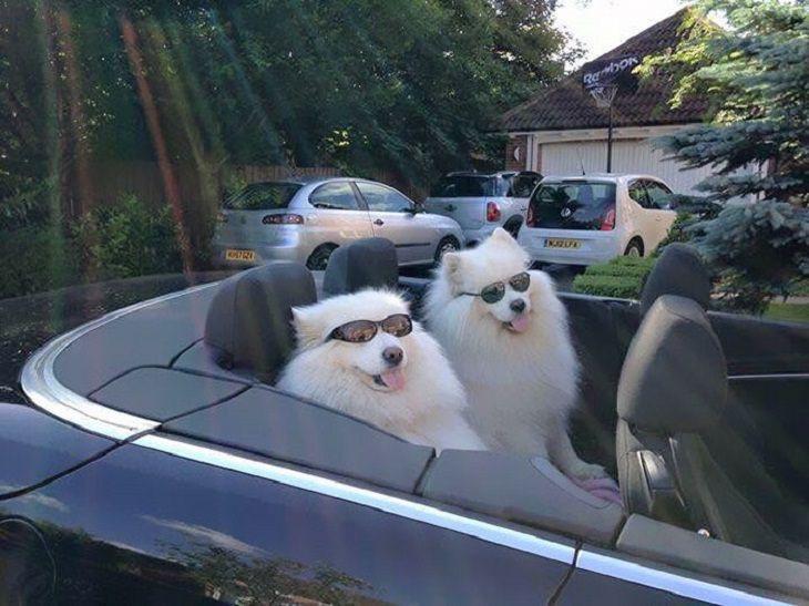 cachorros samoieda fofos