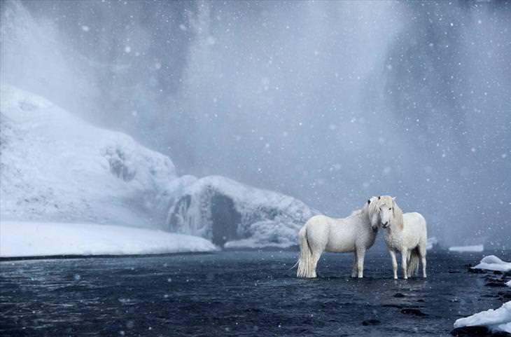 cavalos islandeses
