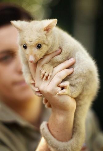 Bichos fofos australianos