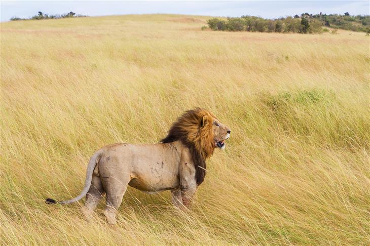 O leão medroso