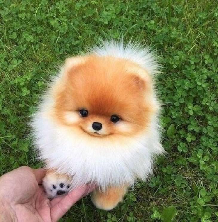 Cachorrinhos fofíssimos lulu da pomerânia