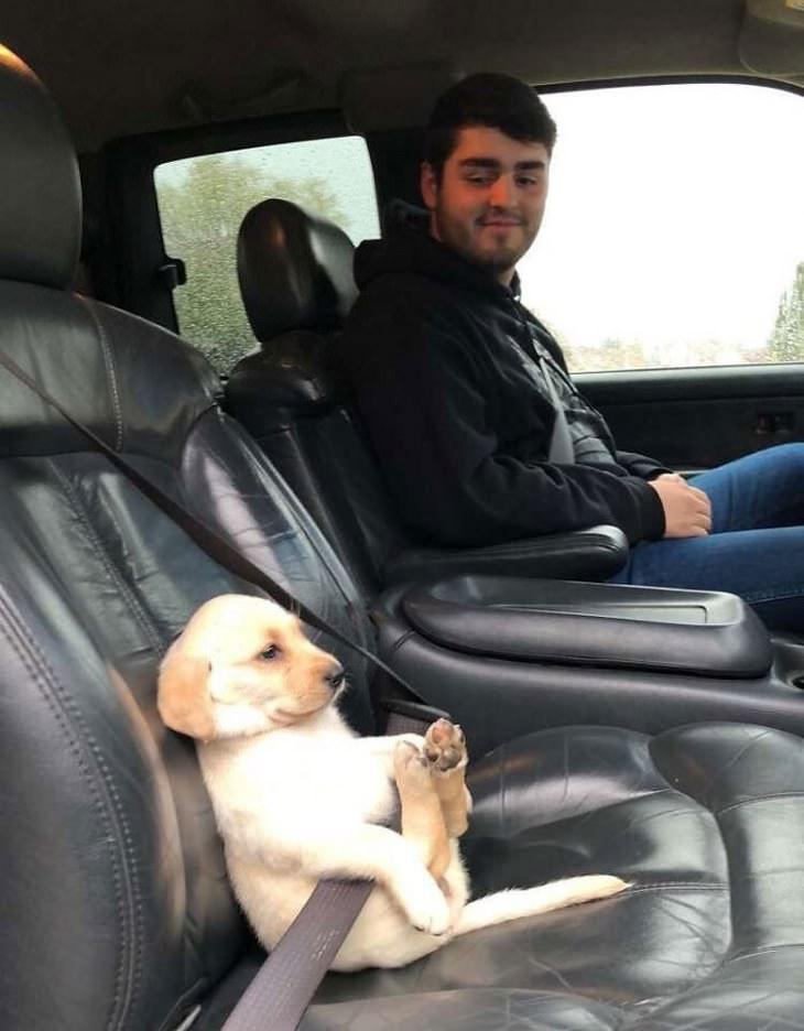 Cachorrinhos fofíssimos labrador no cinto de segurança