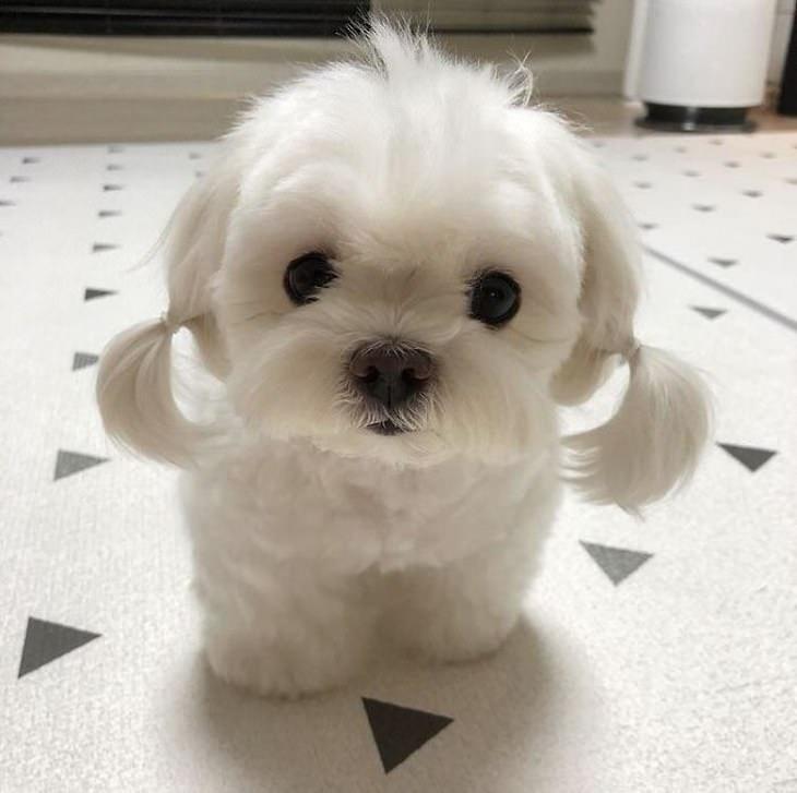 Cachorrinhos fofíssimos filhotinho de pelo branco