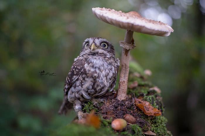 Poldi, a corujinha sob um cogumelo