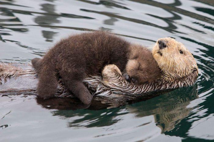 Lontras bebês