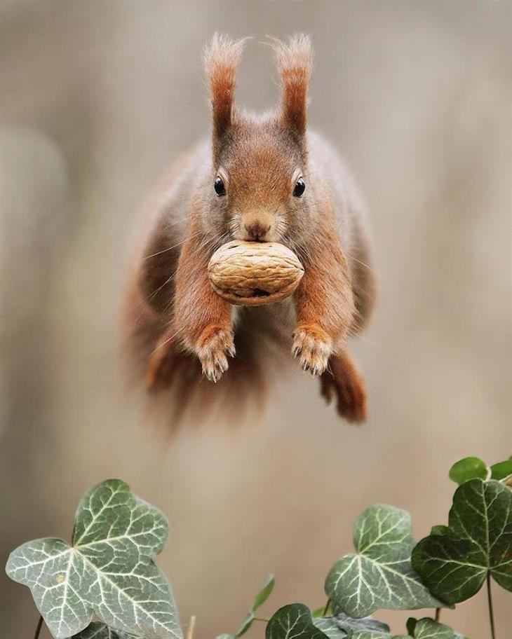 Animais silvestres esquilo vermelho