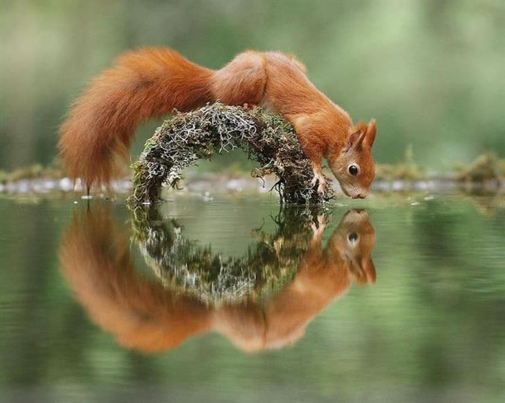 Animais silvestres esquilo cruzando ponte