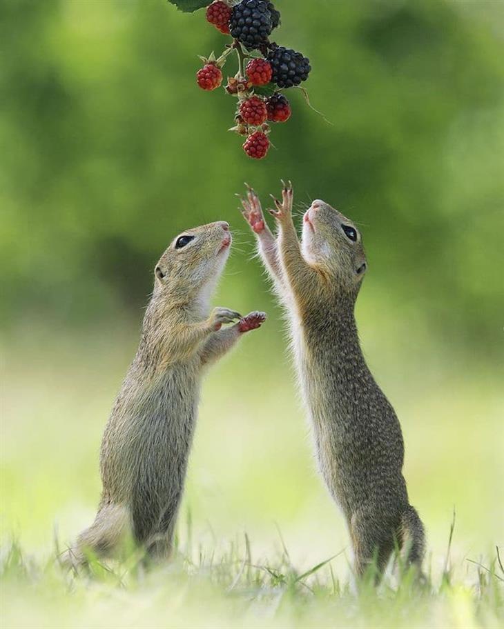Animais silvestres dois serelepes e frutas vermelhas