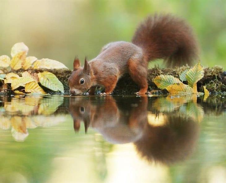 Animais silvestres esquilo bebendo água