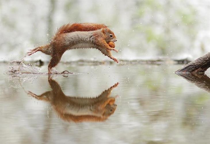 Animais silvestres esquilo vermelho pulando