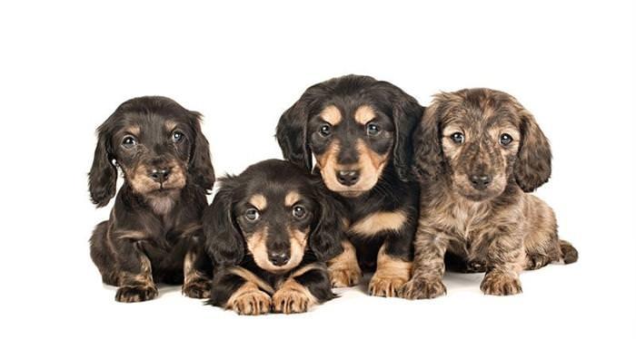 Cachorrinhos com seis semanas