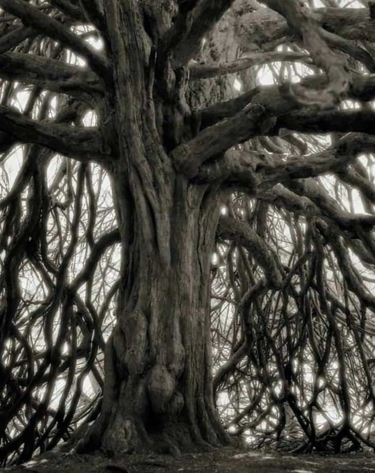 árvores antigas