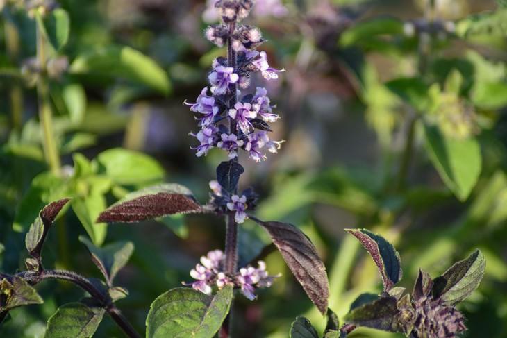 sementes de manjericão