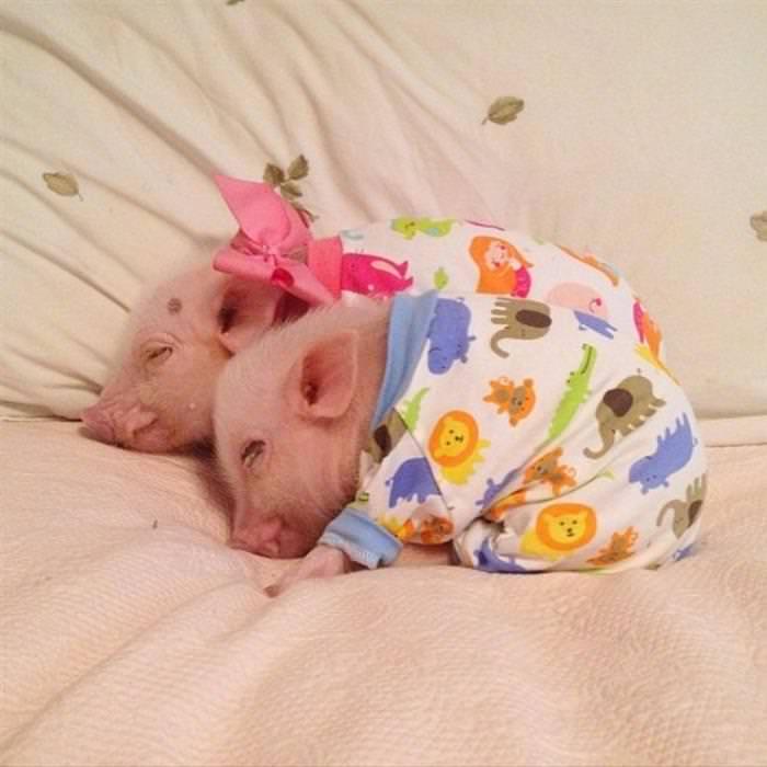 porquinhos fofos