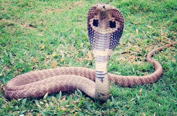 cuidado cobra