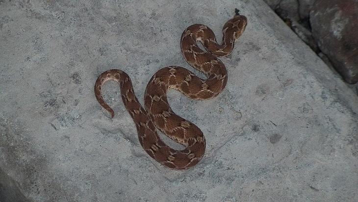 serpente venenosa