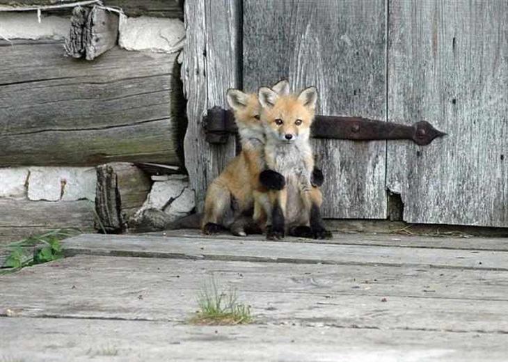 raposas fofas