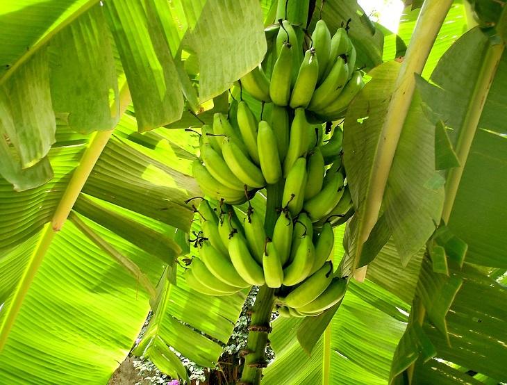 extinção bananas