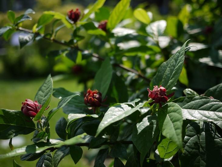plantas perfumadas