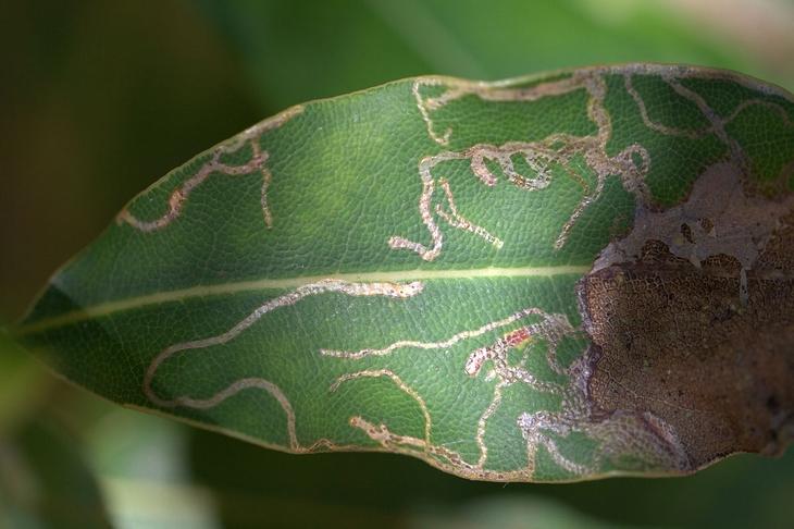 larva minadora