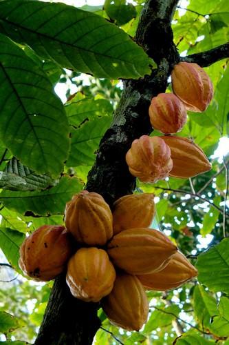 frutas no pé