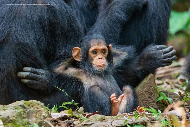 Bichos Também se Divertem - chimpanzé