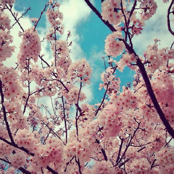 Mississipi em imagens de iPhone - cerejeiras em flor