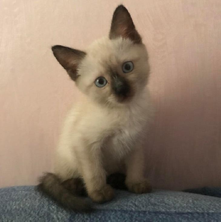 Gatinhos Muito Fofos-gatinho siamês