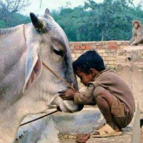 Crianças de Várias Culturas-menino indiano com vaca
