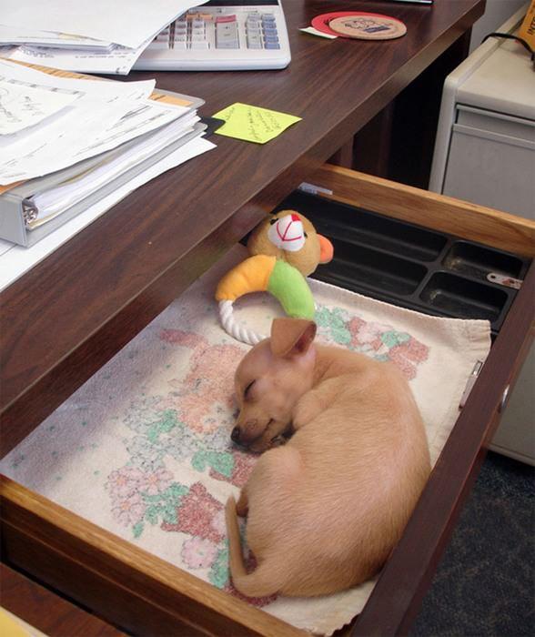 Cachorros com Trabalho de Gente cão na gaveta