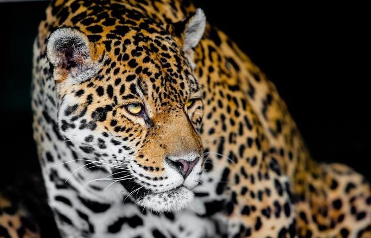 A impactante beleza dos animais selvagens - onça