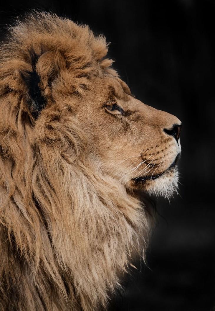 A impactante beleza dos animais selvagens - leão